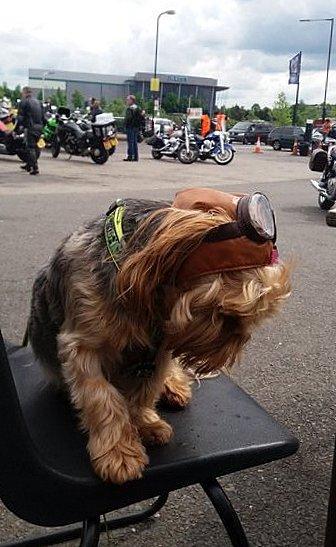 Chien biker Ace café